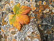 """An orange and green leaf rests on polygons of orange and gray lichen in Denali State Park, Alaska, USA. Published in """"Light Travel: Photography on the Go"""" by Tom Dempsey 2009, 2010."""