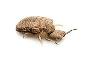 Giant Antlion (Vella americana) larva<br /> TEXAS: Bastrop Co.<br /> Bastrop<br /> 1-Nov-2011 N30.25646 W97.32105<br /> J.C. Abbott