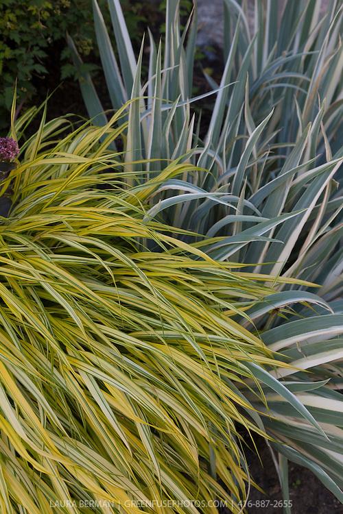 Golden Japanese Forest Grass  and variegated Iris  (Hakonechloa macra 'Aureola' and Iris pallida 'Variegata', )