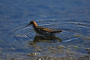 07: NORTH ROAD MYVATN WADING BIRDS