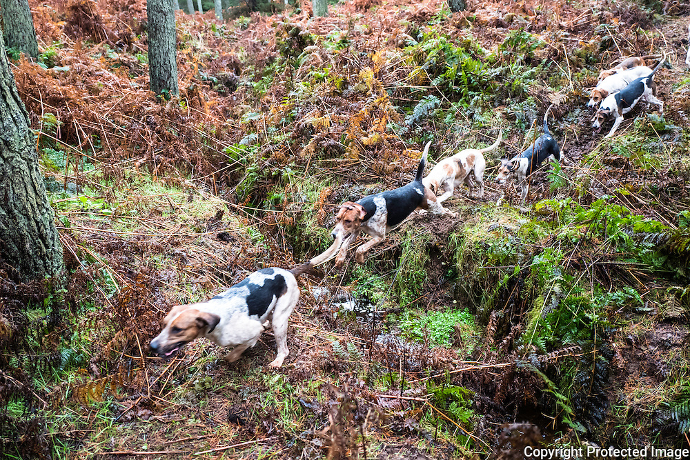 Jedburgh, Scottish Borders, UK. 22nd November 2016. Foxhounds of the Jedforest Hunt at work in forestry, a day after Lord Bonomy's recommendations on the hunting law in Scotland was published. Bonomy concluded that a full pack of hounds is still an effective form of fox control.