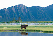 Alaskan Brown Bear,Ursus middendorffi, resting next to pond, reflection, Katmai National Park, Alaska