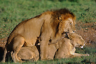 African lions mating, Panthera leo, East Africa