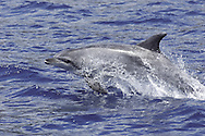 oceanic bottlenose dolphin, Tursiops truncatus, Azores Islands, Portugal, North Atlantic Ocean &amp;#xA;&copy; KIKE CALVO / V&amp;W&amp;#xA;<br />