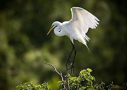 A great egret (Ardea alba) makes a precarious landing in the Gatorland alligator breeding marsh and bird sanctuary near Orlando, Florida. The bird sanctuary is the largest and most easily accessible wild wading bird rookery in east central Florida. Great egrets were hunted almost to extinction for its plumage, used by the fashion industry, in the 1800's. The Aududon Society was formed during this period to push for protection for the birds from the fashion industry.