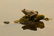Frog on Moss with Relfection