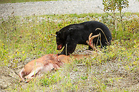 While returning to Calgary from a hike in Kananaskis we drove past this black bear feasting on a White-tailed Deer at the side of the road. There was no way to know if the bear had killed the deer or if it was just taking advantage of an opportunity...<br /> <br /> &copy;2014, Sean Phillips<br /> http://www.RiverwoodPhotography.com