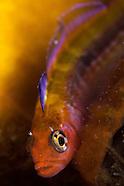 Forsterygion maryannae (Spawning) Oblique-swimming triplefin