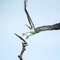 Africa, South Africa, Kruger National Park, Immature Osprey (Pandion haliaetus) spreads wings while taking flight
