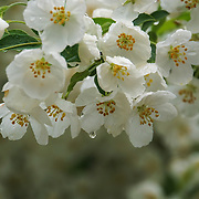 &quot;Apple Blossom Rain&quot;<br />