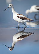 American Avocets reflect in Lake Deweese.