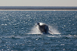 A pregnant humpback whale breaches off Barred Creek on the Kimberley coast.  Western Australia's Kimberley region is home to the world's largest population of Humpback whales, now thougtht to number between 22,000 and 30,000 individuals.