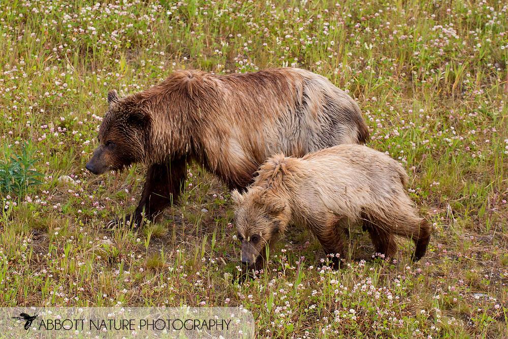 Grizzly Bear (Ursus arctos horribilis) - female with cub<br /> CANADA: British Columbia (Stikine Region)<br /> along Alaska Highway<br /> 18-July-2012<br /> J.C. Abbott &amp; K.K. Abbott