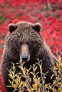 Alaska. Denali National Park. Grizzly bear in the autumn tundra.