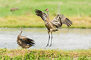 Sandhill Crane (Grus canadensis) jumps and displays plumage for its mate at Creamer's Field Migratory Waterfowl Refuge in Fairbanks in Interior Alaska. Summer. Afternoon.