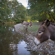 Donkeys from the Olympic Game Farm hanging out near sunset along the Dungeness River.