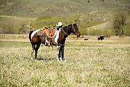 Cowboys, mounts horse, branding, Lazy SR Ranch, Wilsall, Montana, Cleve Swandal, MODEL RELEASED, PROPERTY RELEASED