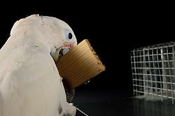 [captive] Making a strip of wood and using it as a tool ( sequence 1/9 ) Reasearch on the cognitive abilities is done in the Goffin Lab (Lower Austria) by Alice M. I. Auersperg. Goffin's cockatoos or Tanimbar Corellas (Cacatua goffini) are endemic to an island archipelago in Indonesia. Their exploration seems to be reinforced by the movability of the respective affordances and involves both, bill and feet. | Erstellen eines Stäbchen  - In diesem Versuch muss der Goffinkakadu erlernen, aus einem Holzstück ein geeignetes Werkzeug zu brechen, mit dem er nach einer Belohnung (Cashewnuss) stochern kann. Diese bewegt er mit dem Stäbchen nach vorne in einen Wereich, wo er sie mit dem Schnabel ergreifen kann. Dies ist herstellen eines Wergzeugs und der Werkzeuggebrauch. Der Goffinkakadu (Cacatua goffiniana) ist eine Papageienart und kommt in freier Wildbahn ausschließlich auf der indonesischen Inselgruppe Tanimbar vor. Diese Aufnahmen wurden in Gefangenschaft aufgenommen.