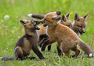 Healthy fox kits spend most of their waking hours playing. During these play sessions, the kits will perfect the hunting strategies they'll use once they reach adulthood. Sometimes, however, play sessions are just about play as was the case with this cross fox kit and his red sibling.
