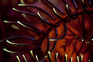 Comanthus novaezealandiae (Feather Star)