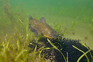 Black Bullhead Guarding Fry<br />