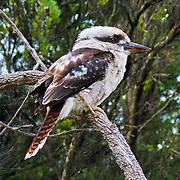 """The Laughing Kookaburra (Dacelo novaeguineae) is a carnivorous bird in the Kingfisher family (Halcyonidae). It is native to eastern mainland Australia and has also been introduced to Tasmania, Flinders Island, and Kangaroo Island. Kookaburra is a loanword """"guuguubarra"""" (from the now extinct Aboriginal language Wiradjuri). Kookaburras (genus Dacelo) include four known species of large terrestrial kingfishers native to Australia and New Guinea, best known for their unmistakable call, like loud echoing, hysterical human laughter. They can be found in habitats ranging from humid forest to arid savanna, but also in suburban and residential areas near running water and food. Wilson's Promontory National Park (or """"the Prom""""), in Victoria, Australia, offers magnificent and secluded beaches, cool fern gullies, great views, spectacular rock formations and an abundance of wildlife. Published in """"Light Travel: Photography on the Go"""" book by Tom Dempsey 2009, 2010."""