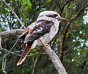 "The Laughing Kookaburra (Dacelo novaeguineae) is a carnivorous bird in the Kingfisher family (Halcyonidae). It is native to eastern mainland Australia and has also been introduced to Tasmania, Flinders Island, and Kangaroo Island. Kookaburra is a loanword ""guuguubarra"" (from the now extinct Aboriginal language Wiradjuri). Kookaburras (genus Dacelo) include four known species of large terrestrial kingfishers native to Australia and New Guinea, best known for their unmistakable call, like loud echoing, hysterical human laughter. They can be found in habitats ranging from humid forest to arid savanna, but also in suburban and residential areas near running water and food. Wilson's Promontory National Park (or ""the Prom""), in Victoria, Australia, offers magnificent and secluded beaches, cool fern gullies, great views, spectacular rock formations and an abundance of wildlife. Published in ""Light Travel: Photography on the Go"" book by Tom Dempsey 2009, 2010."