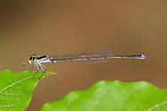 Blackwater Bluet (Enallagma weewa) - male<br /> SOUTH CAROLINA: Chesterfield Co.<br /> Cheraw State Park; Cheraw<br /> 6.May.2012  <br /> J.C. Abbott #2589