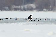 Bald Eagle Fishing on Onondaga Lake 2/5/2013