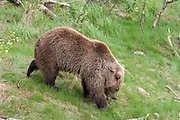 Bear in Namsskogan Zoo, Mid-Norway. Bjørn i Namsskogan familiepark.