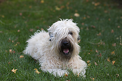 shaggy dog looking at camera