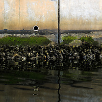 The mussel-encrusted concrete wall of a Miami Beach, Florida canal.