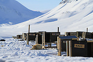 Dogs rest in yard at Green Dog Svalbard sled dog kennel in April near Longyearbyen, Svalbard, Norway.