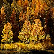 SHOT 10/1/12 4:01:52 PM - Aspen trees changing colors along Kebler Pass just outside of Crested Butte, Co. Populus tremuloides, the Quaking Aspen or Trembling Aspen, is a deciduous tree native to cooler areas of North America and is generally found at 5,000-12,000 feet. The name references the quaking or trembling of the leaves that occurs in even a slight breeze due to the flattened petioles. It propagates itself by both seed and root sprouts, and extensive clonal colonies are common. Each colony is its own clone, and all trees in the clone have identical characteristics and share a root structure. (Photo by Marc Piscotty / © 2012)