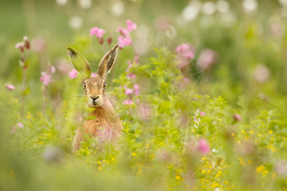 European Hare (Lepus europaeus) adult amongst red campion, Norfolk, UK.