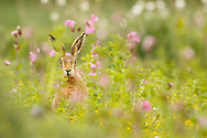 European Hare (Lepus europaeus) adult amongst red campion, Norfolk, UK.