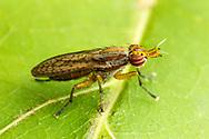 Marsh Fly (Limnia shannoni)<br /> United States: Alabama: Shelby Co.<br /> Limestone Park<br /> 2400 Hwy. 31 South Alabaster<br /> 33.1857985, -86.7635383<br /> 28-May-2016<br /> J.C. Abbott #2821 &amp; K.K. Abbott