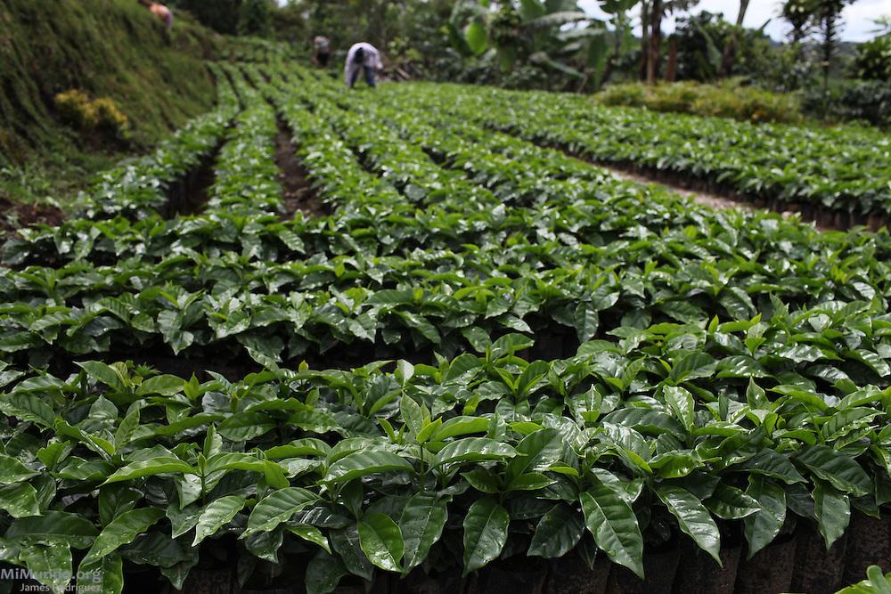 Coffee seedbeds of Eliza Guerrera, small-scale coffee producer and member of COOPROSANVITO. COOPROSANVITO, San Vito, Coto Brus, Puntarenas, Costa Rica. August 29, 2012.