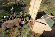 White Rhinoceros (Ceratotherium simum) darted for relocation. Conservation Solutions Vet Andre Uys moving the sedated animal for loading into crate<br /> Private Game Reserve<br /> SOUTH AFRICA<br /> RANGE: Southern &amp; East Africa<br /> ENDANGERED SPECIES