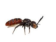 Cuckoo Bee (Holcopasites calliopsidis) on white background, Pickens, South Carolina, USA
