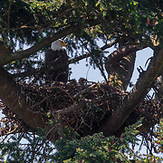 A bald eagle (Haliaeetus leucocephalus) watches over its two young eaglets on their nest in Heritage Park, Kirkland, Washington. Bald eagles construct the largest nests of any North American bird, up to 8 feet (2.5) meters wide and weighing more than a ton.