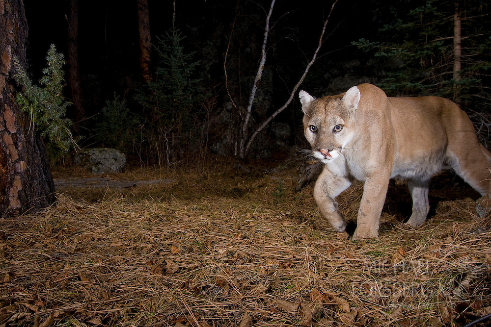 The cougar, also known as the puma or mountain lion, is North America's largest cat.  Cougars have the largest range of any wild mammal in the America's and can be found from the Canadian Yukon to the tip of South America.  They live in a wide range of habitats, usually in areas with dense underbrush, from deserts and forests to mountains and plains.  Sleek and agile, cougars can reach 8 feet long from head to tip of tail and 150 pounds.  Their powerful legs allow them to sprint for short distances as fast as 35 miles per hour and enable them to leap up to 30 feet, crucial to their ability to stalk and ambush deer, elk, and bighorn sheep.  Like most cats, cougars are solitary and territorial, roaming up to 15 miles between dusk and dawn, and require home ranges 50-100 square miles to thrive.  Like other large predators, their long-term conservation depends on preservation of large-scale native landscapes. Black Hills, South Dakota.