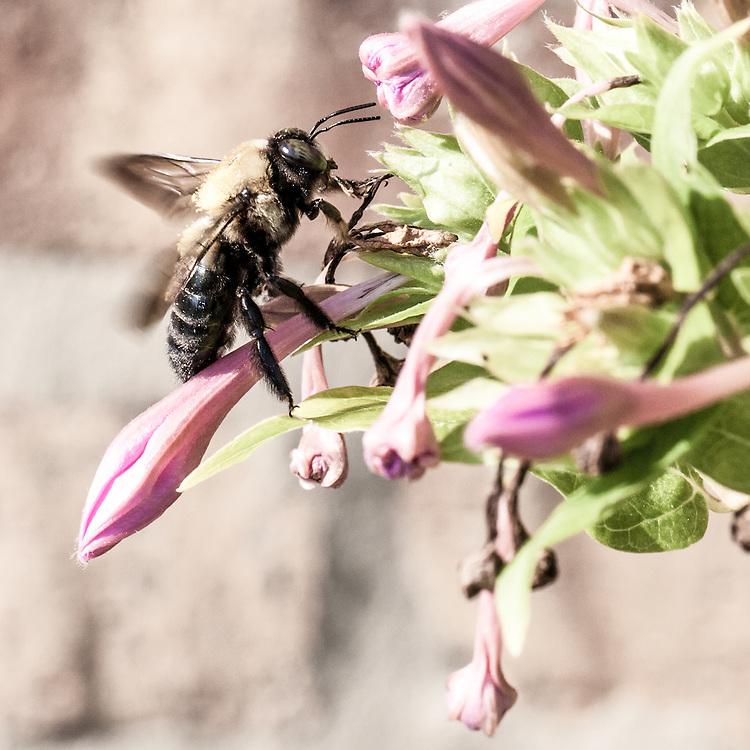 Carniolan Honey Bee (Apis mellifera carnica)