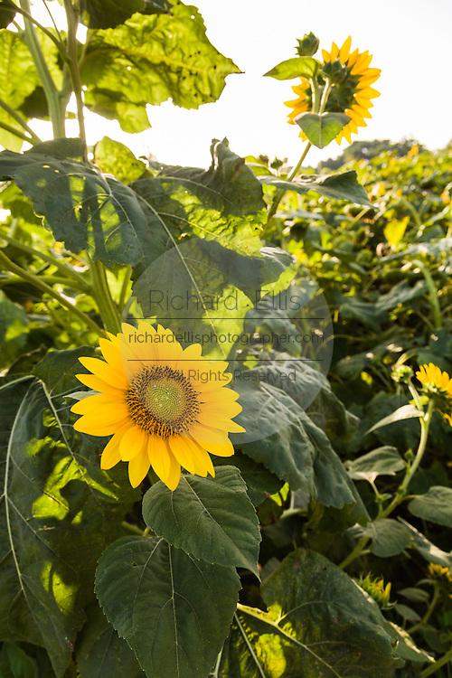 Sunflowers blooming at Botany Bay Plantation in Edisto Island, South Carolina.
