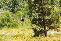 A Moose calf in the Many Glacier region of Glacier National Park<br /> <br /> &copy;2016, Sean Phillips<br /> http://www.RiverwoodPhotography.com
