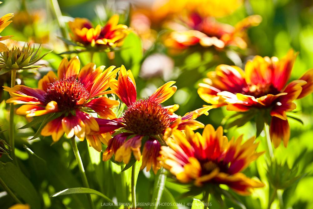 Arizona Sun Blanket Flower (Gaillardia grandiflora 'Arizona Sun').<br /> Showy three-inch single flowers that are mahogany-red with bright yellow edges.