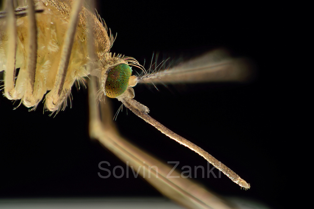 Mosquito (Culex pipiens) pssible carrier of the West Nile Virus and Usutu-Virus. close-up, Kiel, Germany | Die Hausmücke (Culex pipiens) kann als Vektor für das West-Nil-Virus und Usutu-Virus dienen. Kiel, Deutschland