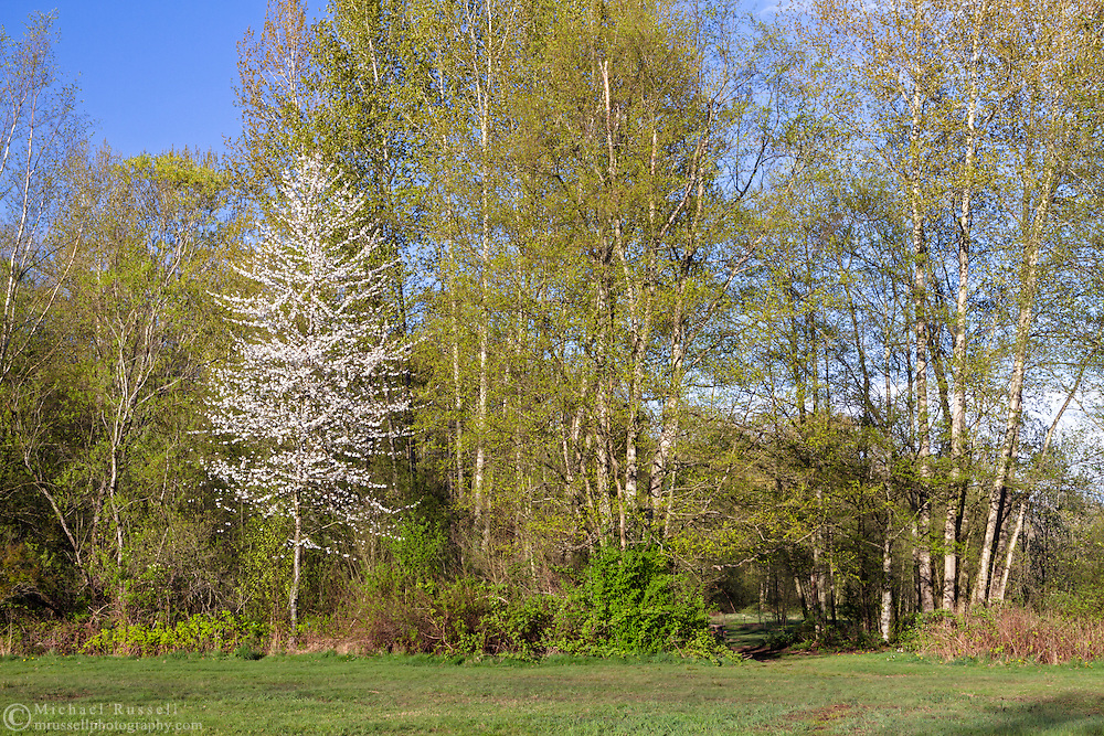 Cherry Tree at Campbell Valley Regional Park in Langley, British Columbia, Canada