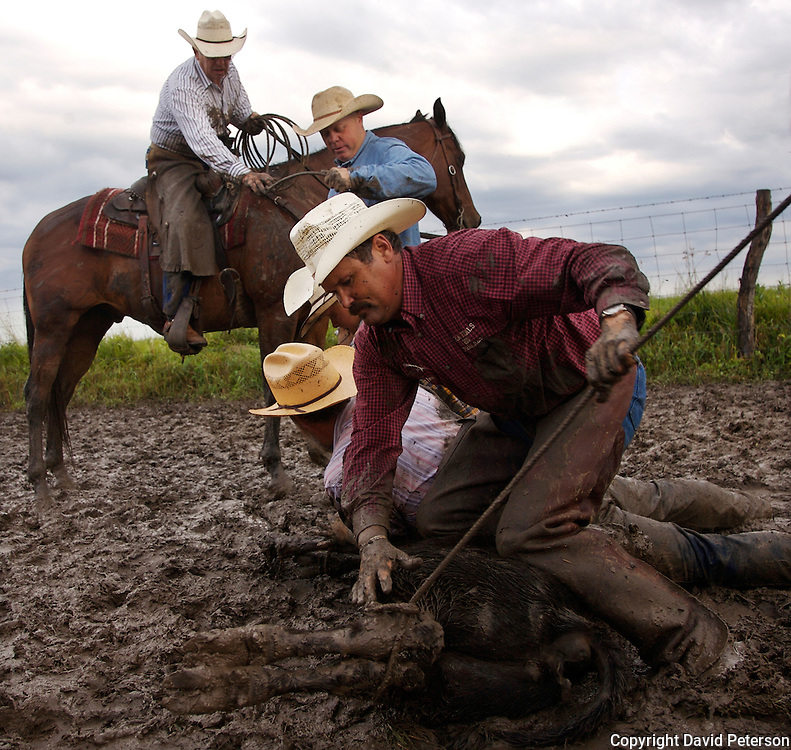 Cowboys wrestle with a calf, preparing it for vaccination, branding and the insertion of an implant growth stimulant at the Bar B ranch near Albia, Iowa.  In front is Doug Stark, manager of the ranch.  Rainy conditions on this morning in August of 2008, made the task more difficult because of the slippery, muddy conditions.  Twice each year ranch owner Catherine Bay holds the roundup for new calves born to her herd of over 2,000 cattle.