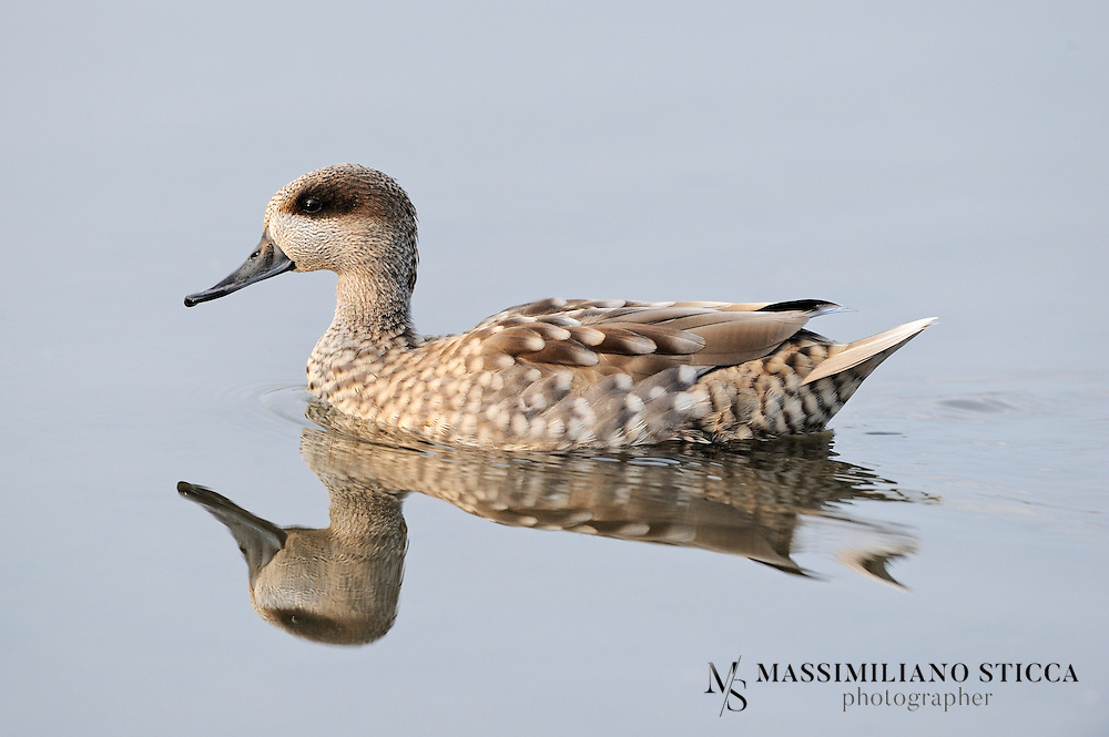 The Marbled Duck, or Marbled Teal (Marmaronetta angustirostris), is a medium-sized duck. It used to be included among the dabbling ducks, but is now classed as a diving duck.<br />